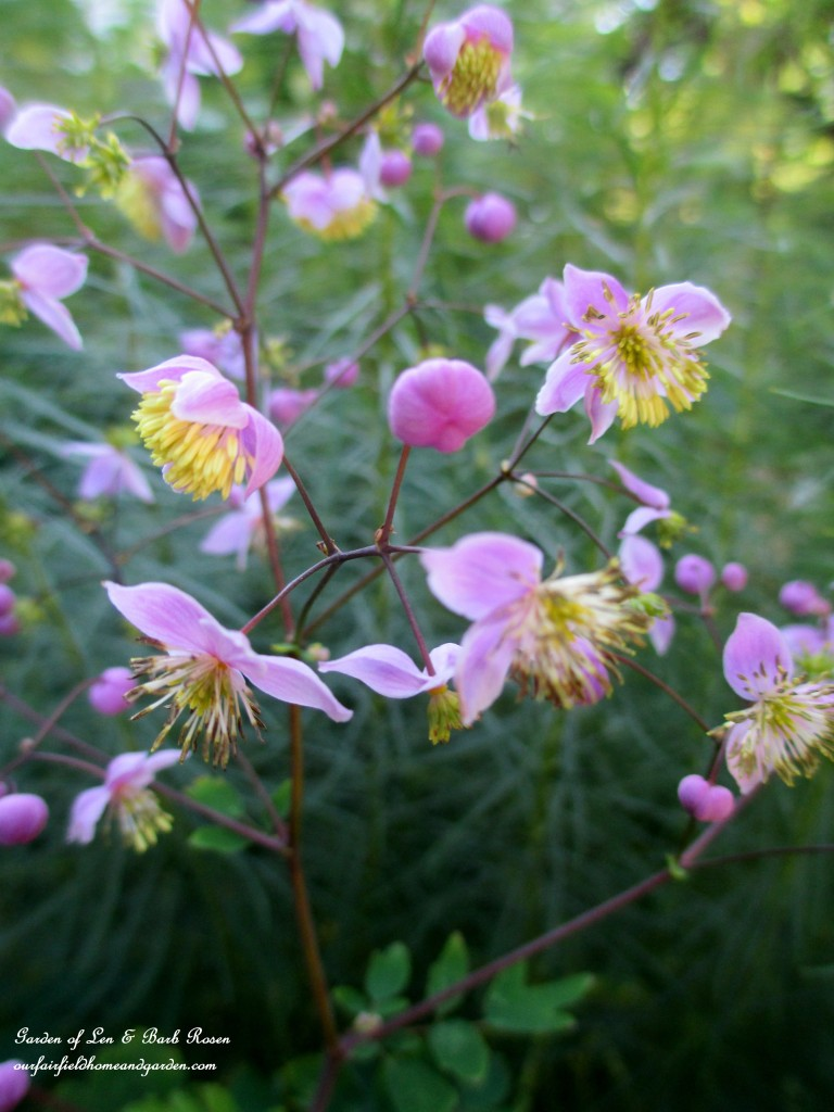 Meadow Rue blooms http://ourfairfieldhomeandgarden.com/garden-walk-early-fall-garden/