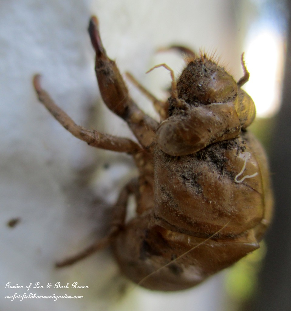 Cicada Husk https://ourfairfieldhomeandgarden.com/garden-walk-early-fall-garden/