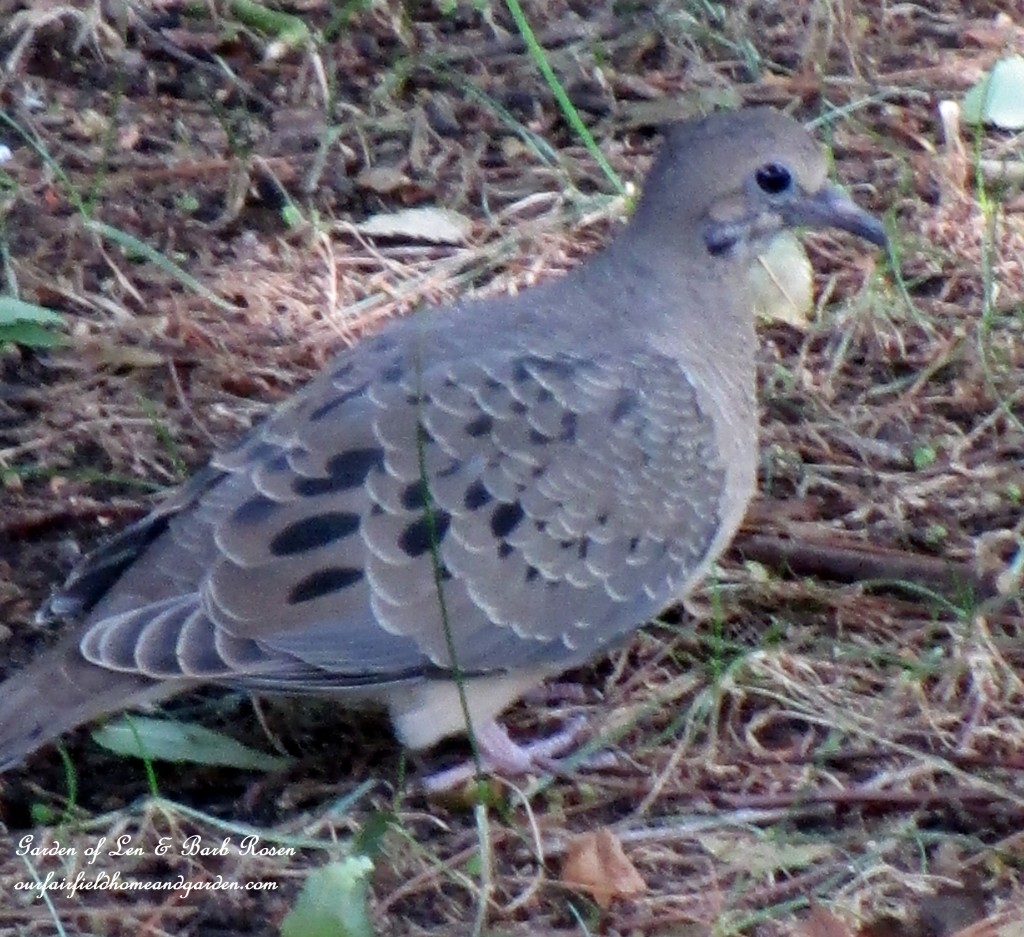 Mourning Dove http://ourfairfieldhomeandgarden.com/garden-walk-early-fall-garden/