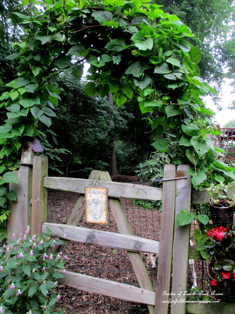 Hyacinth and moonflower vines trained over the branch arbor (year two).