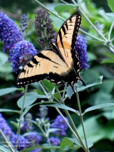 Swallowtail on the Butterfly Bush http://ourfairfieldhomeandgarden.com/garden-walk-early-fall-garden/