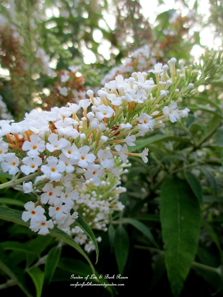 White Butterfly Bush http://ourfairfieldhomeandgarden.com/garden-walk-early-fall-garden/