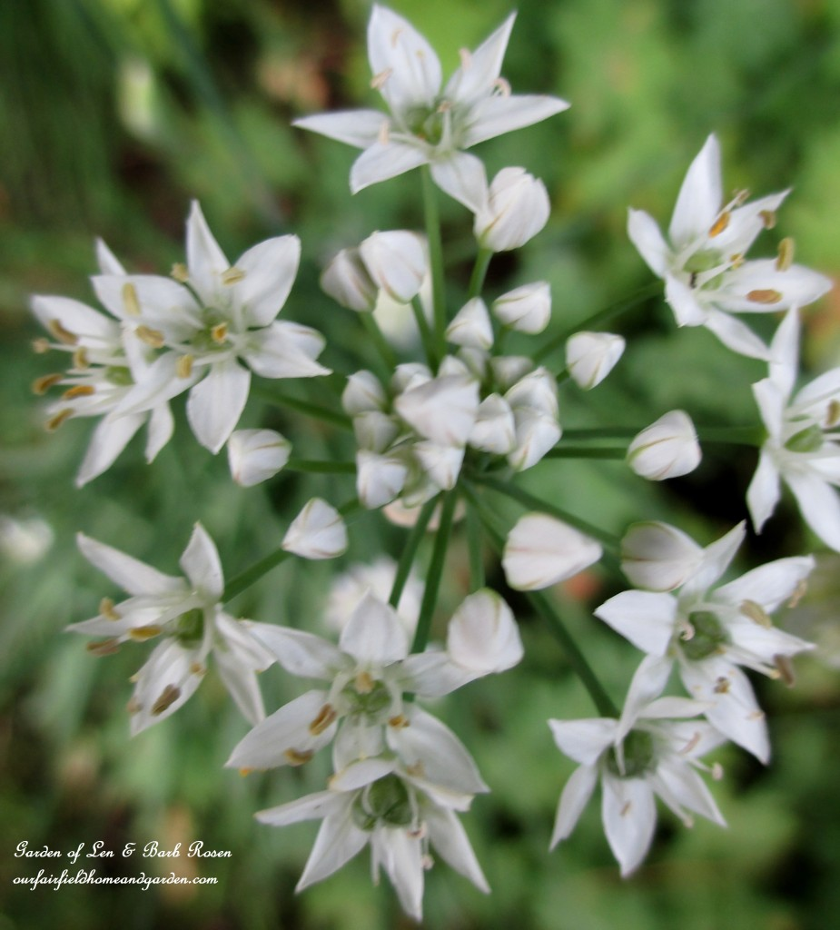 Fall Allium Opening http://ourfairfieldhomeandgarden.com/garden-walk-early-fall-garden/