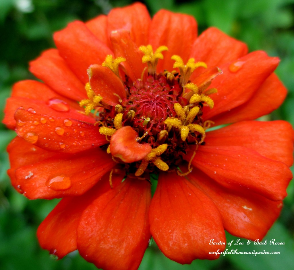 Zinnia Bloom http://ourfairfieldhomeandgarden.com/garden-walk-early-fall-garden/