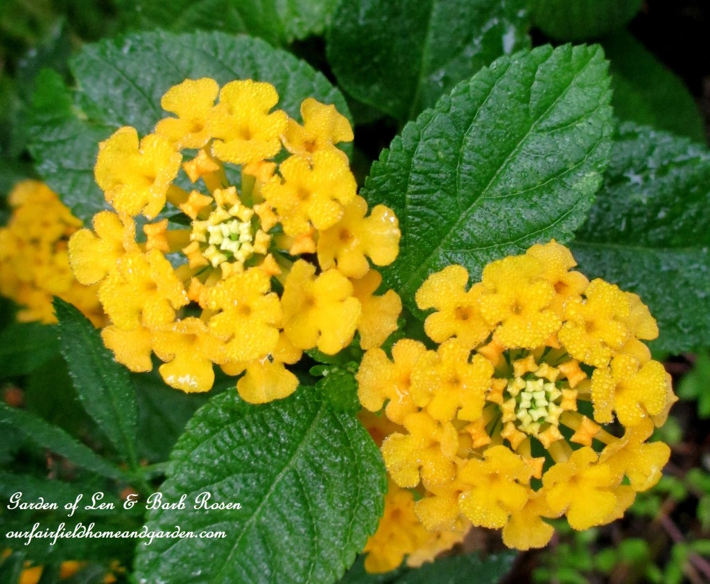 Lantana https://ourfairfieldhomeandgarden.com/garden-walk-early-fall-garden/