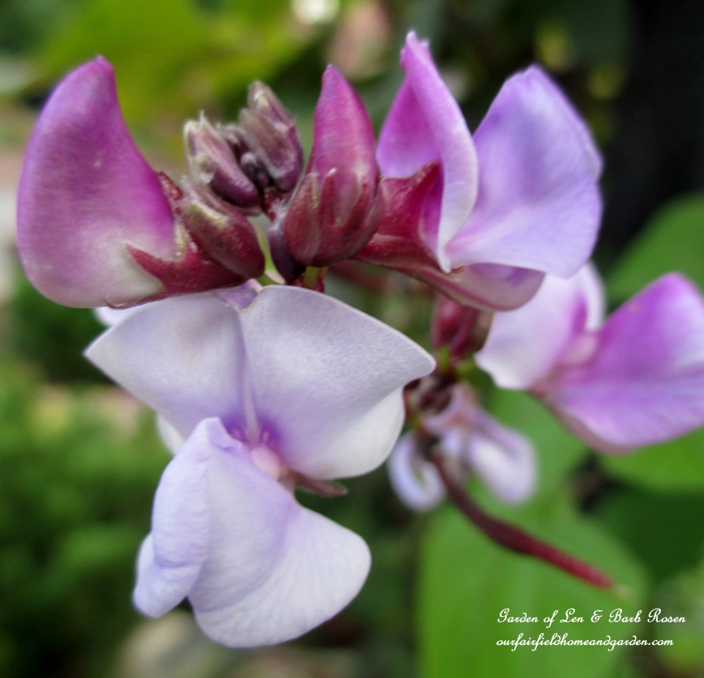 Purple Hyacinth Vine Bloom http://ourfairfieldhomeandgarden.com/garden-walk-early-fall-garden/
