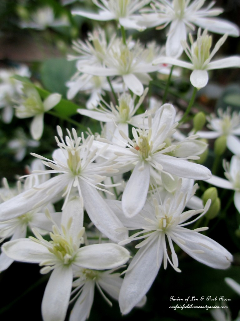 Sweet Autumn Clematis http://ourfairfieldhomeandgarden.com/garden-walk-early-fall-garden/