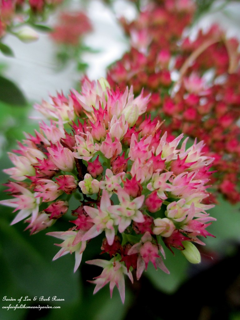 Blooming Sedum http://ourfairfieldhomeandgarden.com/garden-walk-early-fall-garden/