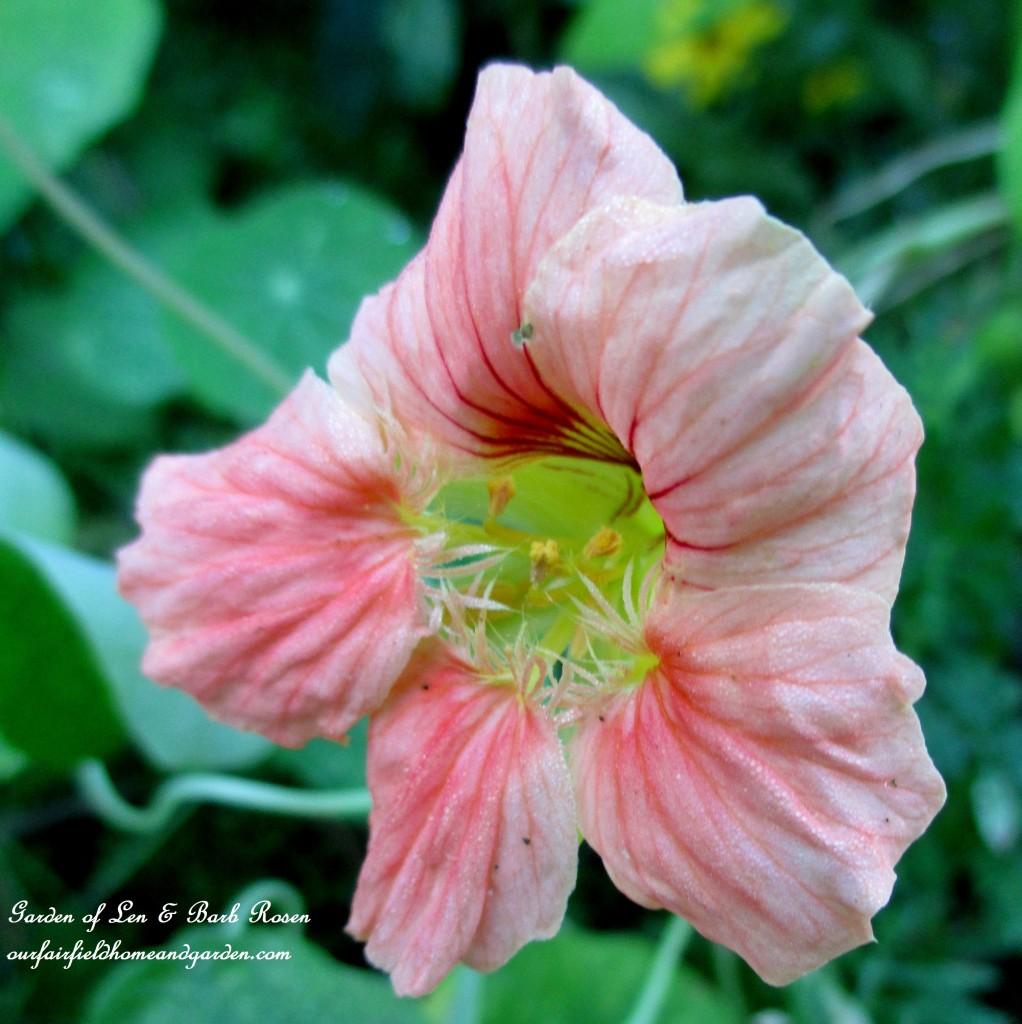 Nasturtium http://ourfairfieldhomeandgarden.com/garden-walk-early-fall-garden/