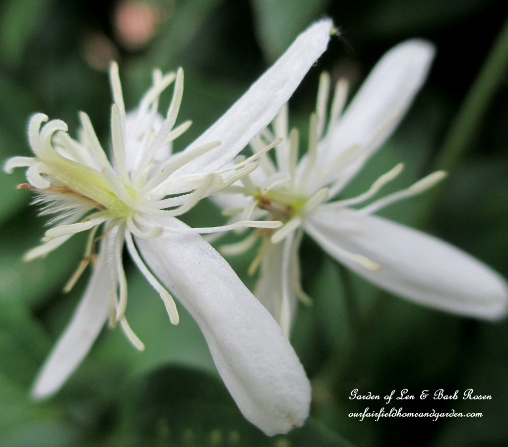Sweet Autumn Clematis ~ lovely and fragrant in Fall https://ourfairfieldhomeandgarden.com/fall-is-in-the-air/