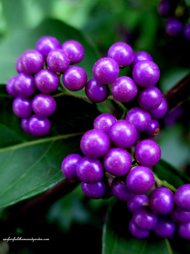 Beautyberry Shrub ~ gorgeous berries for you and the birds! https://ourfairfieldhomeandgarden.com/fall-is-in-the-air/