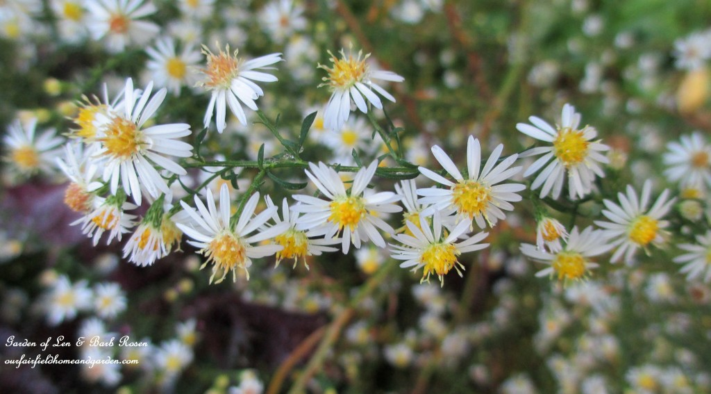 Native Asters http://ourfairfieldhomeandgarden.com/fall-is-in-the-air/