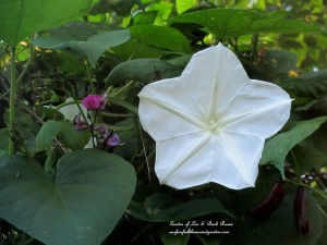 moonflower vine