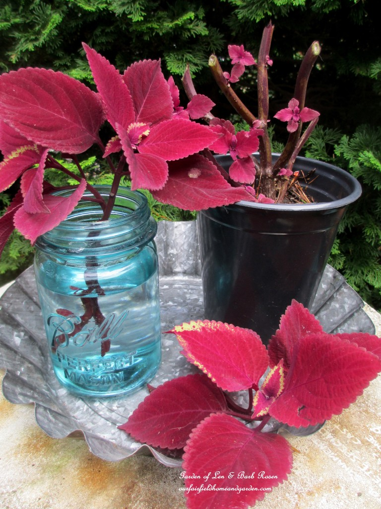 take coleus cuttings http://ourfairfieldhomeandgarden.com/diy-tucking-the-garden-in-for-the-winter-at-our-fairfield-home-garden/