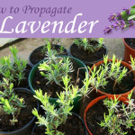 Propagating Lavender * click it !