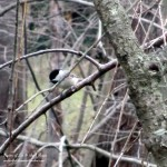 chickadee  http://ourfairfieldhomeandgarden.com/its-time-to-feed-the-birds/