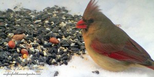 female cardinal feeding  https://ourfairfieldhomeandgarden.com/its-time-to-feed-the-birds/