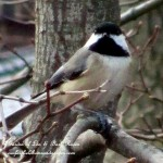 chickadee  https://ourfairfieldhomeandgarden.com/its-time-to-feed-the-birds/