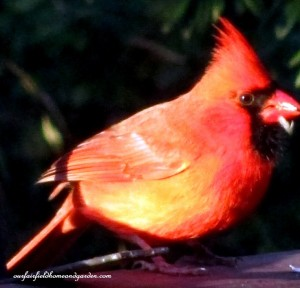 cardinal  http://ourfairfieldhomeandgarden.com/its-time-to-feed-the-birds/