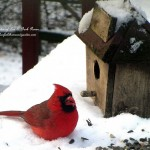 cardinal in the snowhttp://ourfairfieldhomeandgarden.com/its-time-to-feed-the-birds/