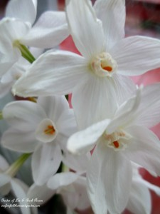 paperwhite blooms http://ourfairfieldhomeandgarden.com/winter-comforts-at-our-fairfield-home-garden/