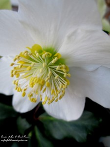white hellebore http://ourfairfieldhomeandgarden.com/winter-comforts-at-our-fairfield-home-garden/