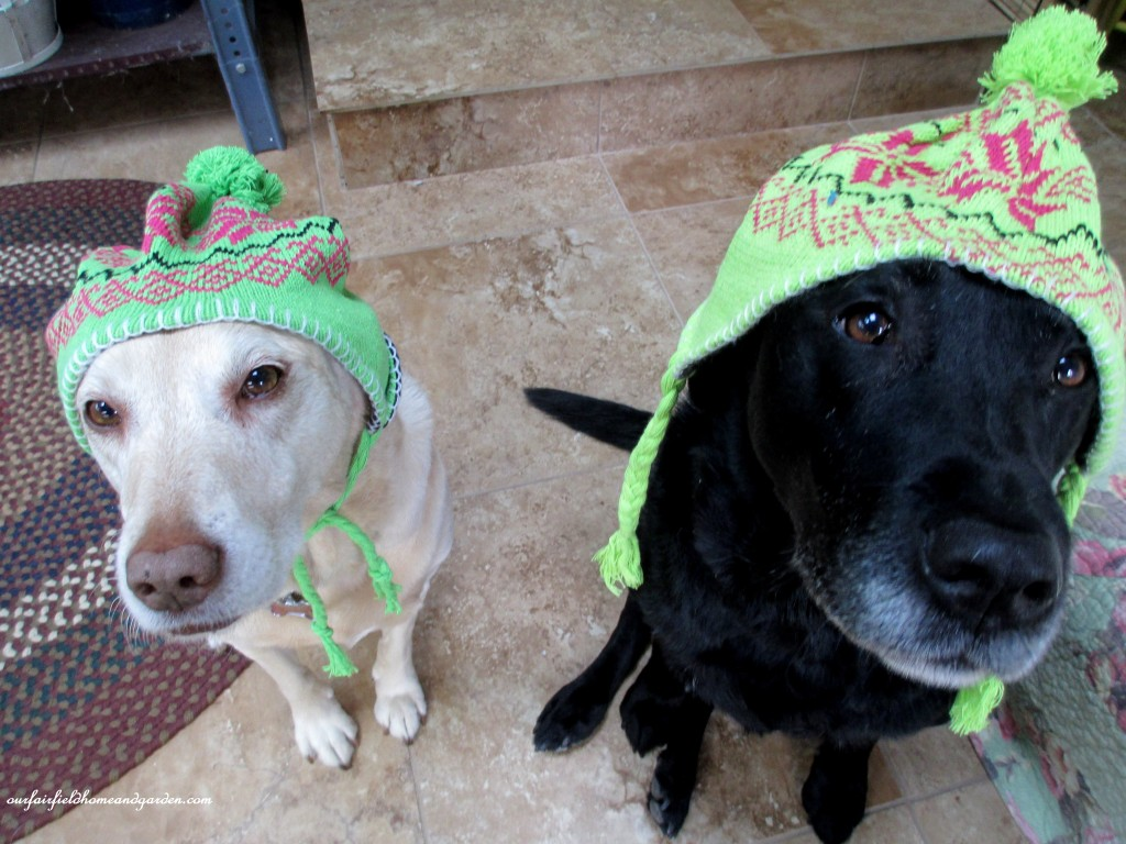 labs in winter http://ourfairfieldhomeandgarden.com/winter-comforts-at-our-fairfield-home-garden/