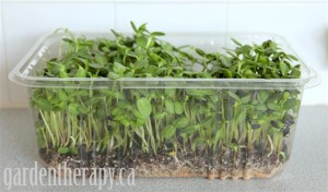 sprouts & microgreens http://gardentherapy.ca/tag/sprouting/