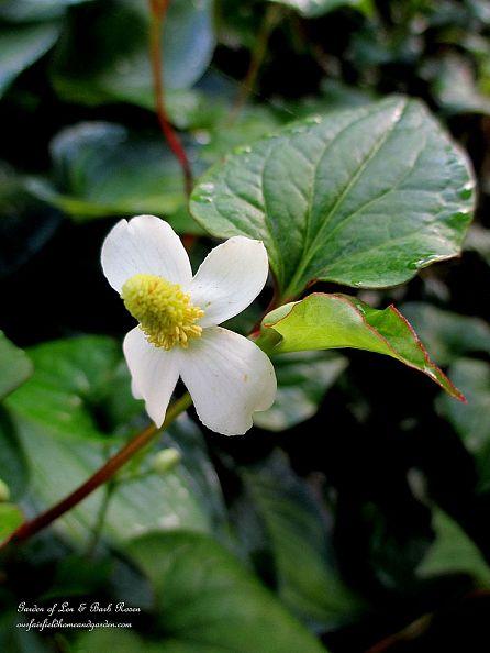 houttuynia cordata https://ourfairfieldhomeandgarden.com/2013-garden-reflections-getting-grounded-in-the-garden/