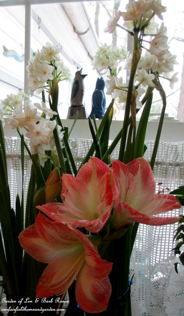Amaryllis & Paperwhites http://ourfairfieldhomeandgarden.com/indoor-gardening-winter-beauty/