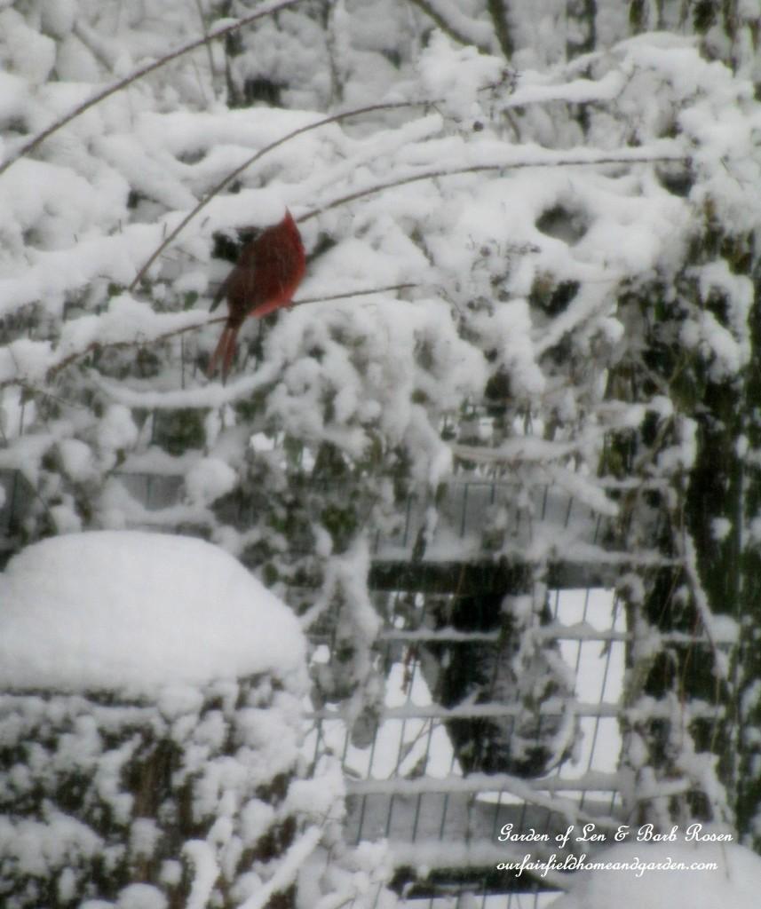 Cardinal in the snow http://ourfairfieldhomeandgarden.com/winter-birds-our-fairfield-home-garden/