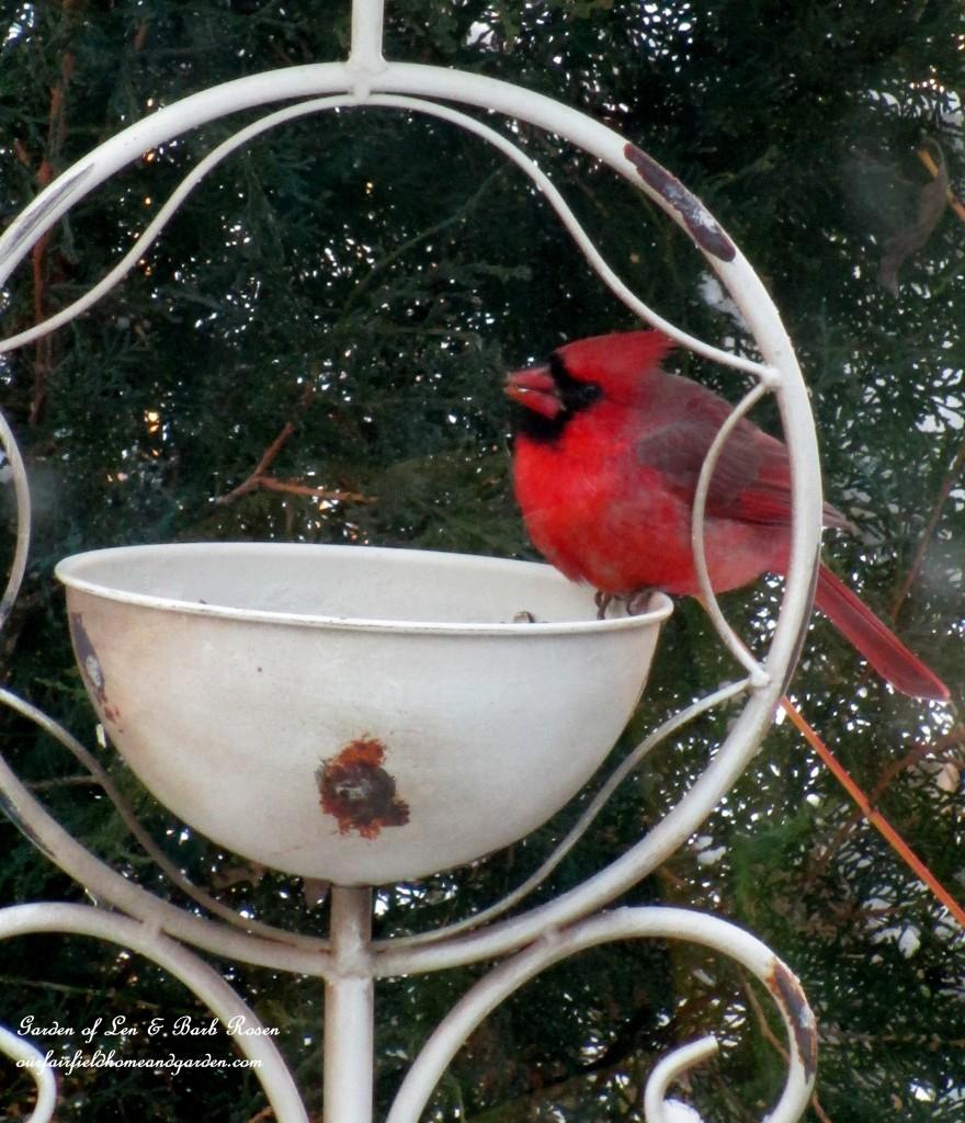 winter cardinal http://ourfairfieldhomeandgarden.com/winter-birds-our-fairfield-home-garden/