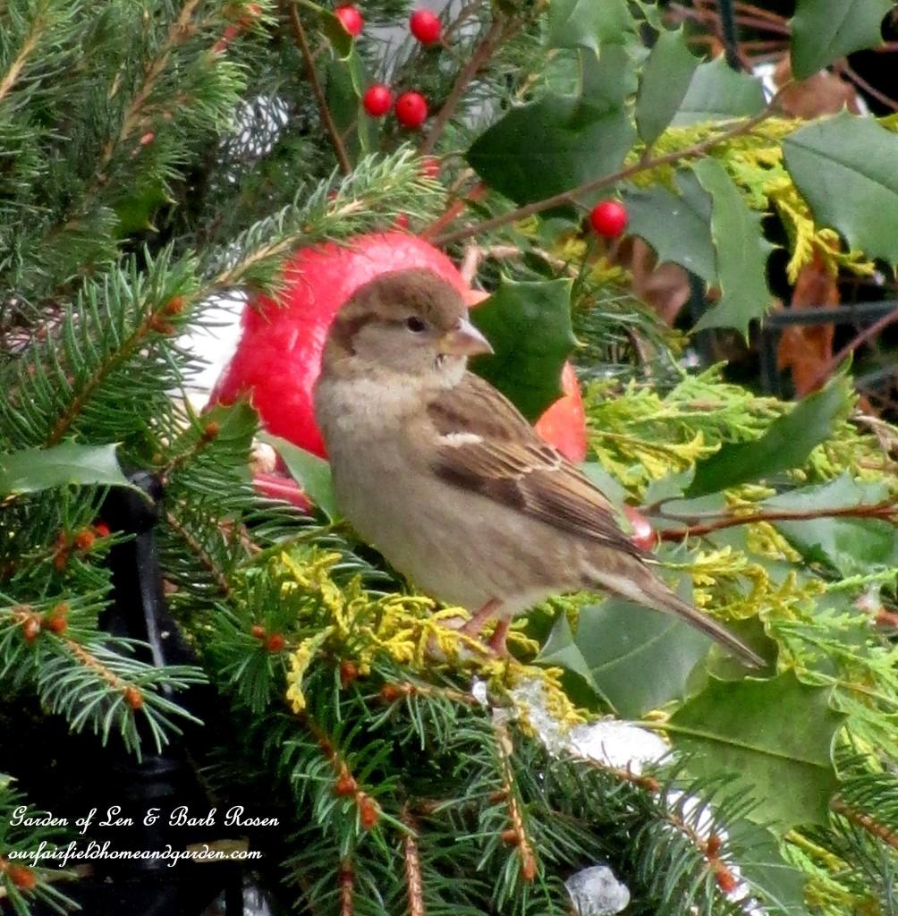 feeding House Sparrow http://ourfairfieldhomeandgarden.com/winter-birds-our-fairfield-home-garden/