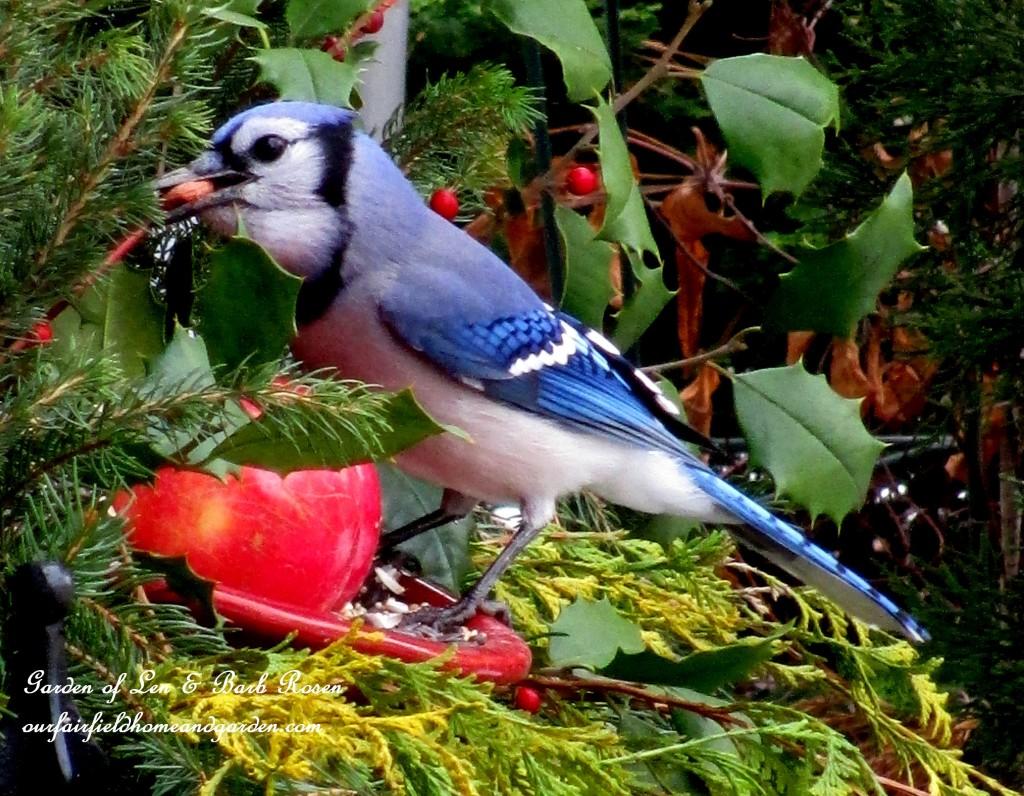 Blue Jay eating a peanut http://ourfairfieldhomeandgarden.com/winter-birds-our-fairfield-home-garden/