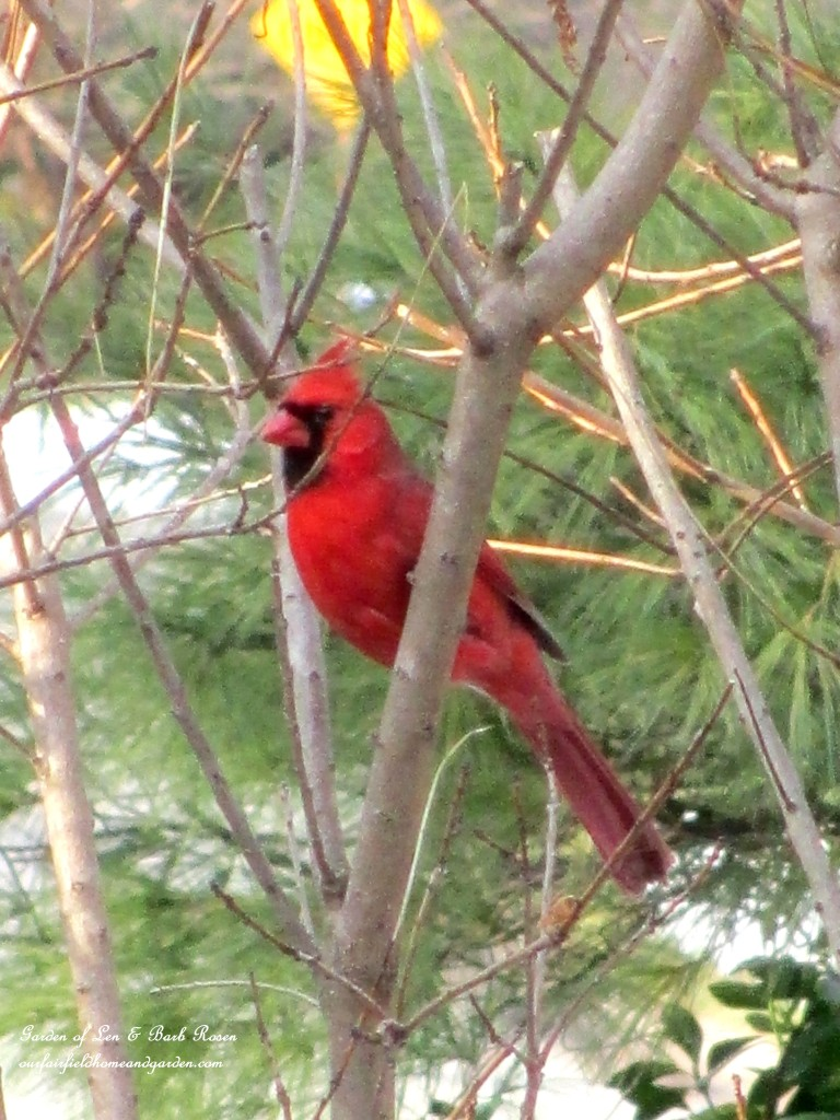 Cardinal waiting for the feeder https://ourfairfieldhomeandgarden.com/winter-birds-our-fairfield-home-garden/