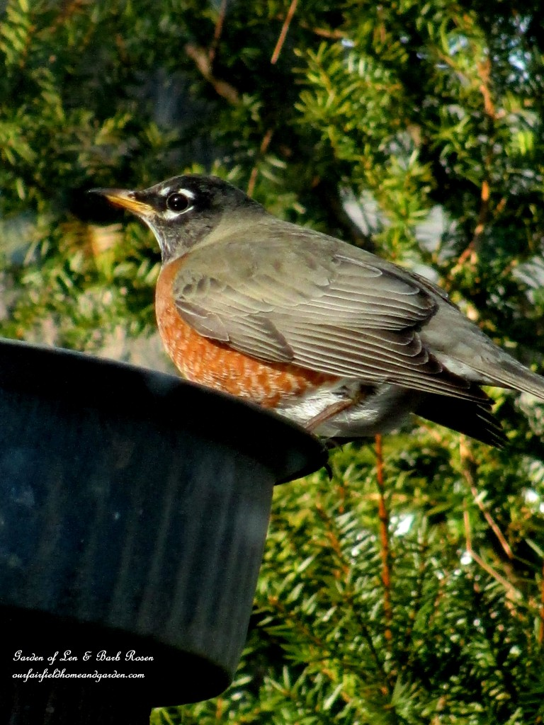 American Robin getting a drink http://ourfairfieldhomeandgarden.com/winter-birds-our-fairfield-home-garden/