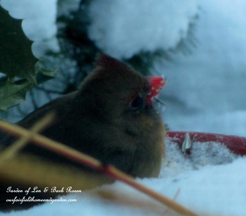 Female Cardinal http://ourfairfieldhomeandgarden.com/winter-birds-our-fairfield-home-garden/