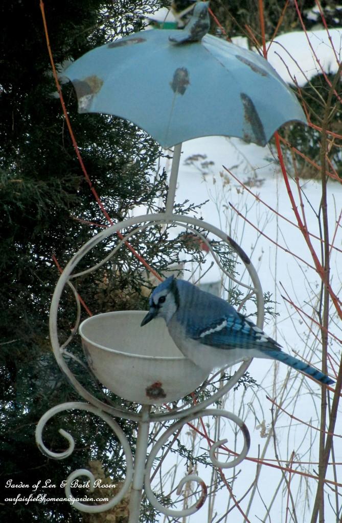 Male Blue Jay http://ourfairfieldhomeandgarden.com/winter-birds-our-fairfield-home-garden/