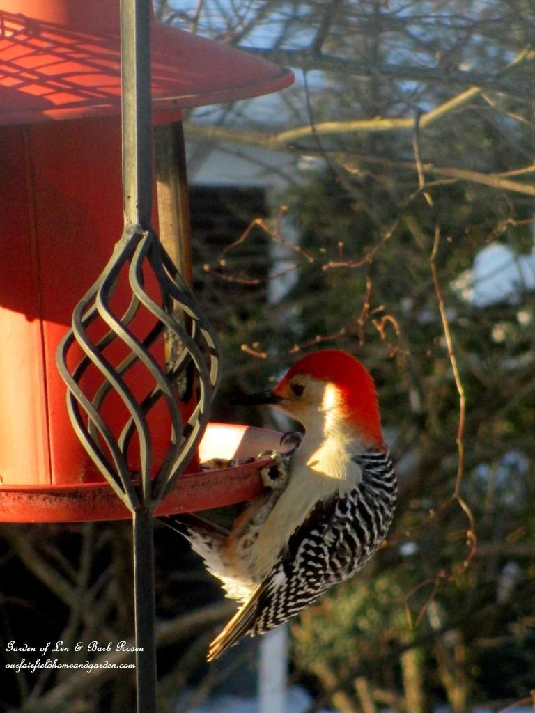 Red-Bellied Woodpecker http://ourfairfieldhomeandgarden.com/winter-birds-our-fairfield-home-garden/