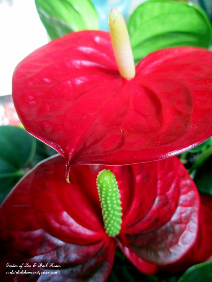 Anthurium Bloom https://ourfairfieldhomeandgarden.com/indoor-gardening-winter-beauty/
