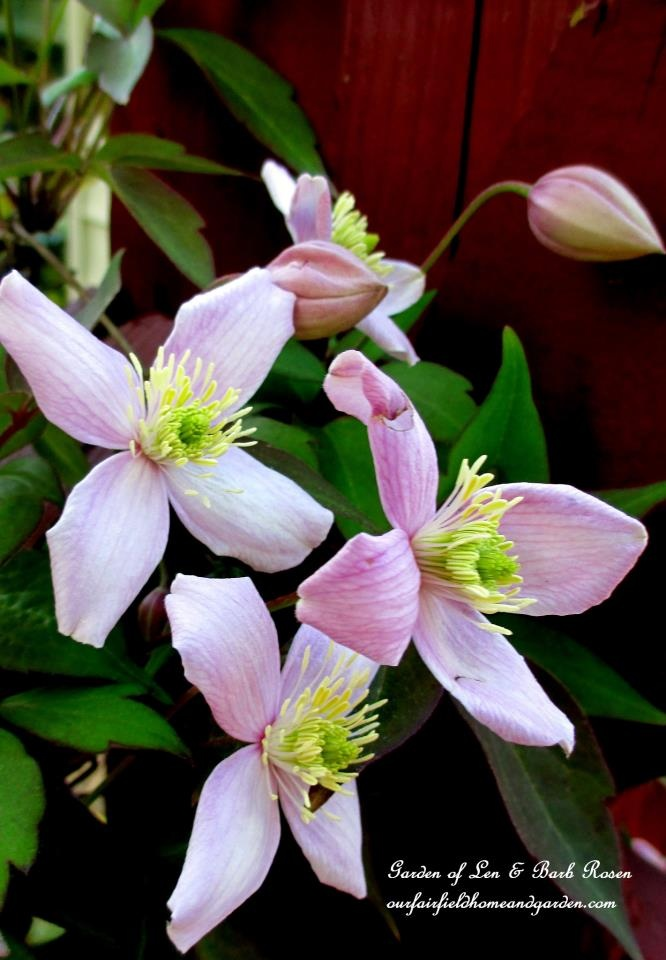 Montana Rubens Clematis http://ourfairfieldhomeandgarden.com/spring-fever/