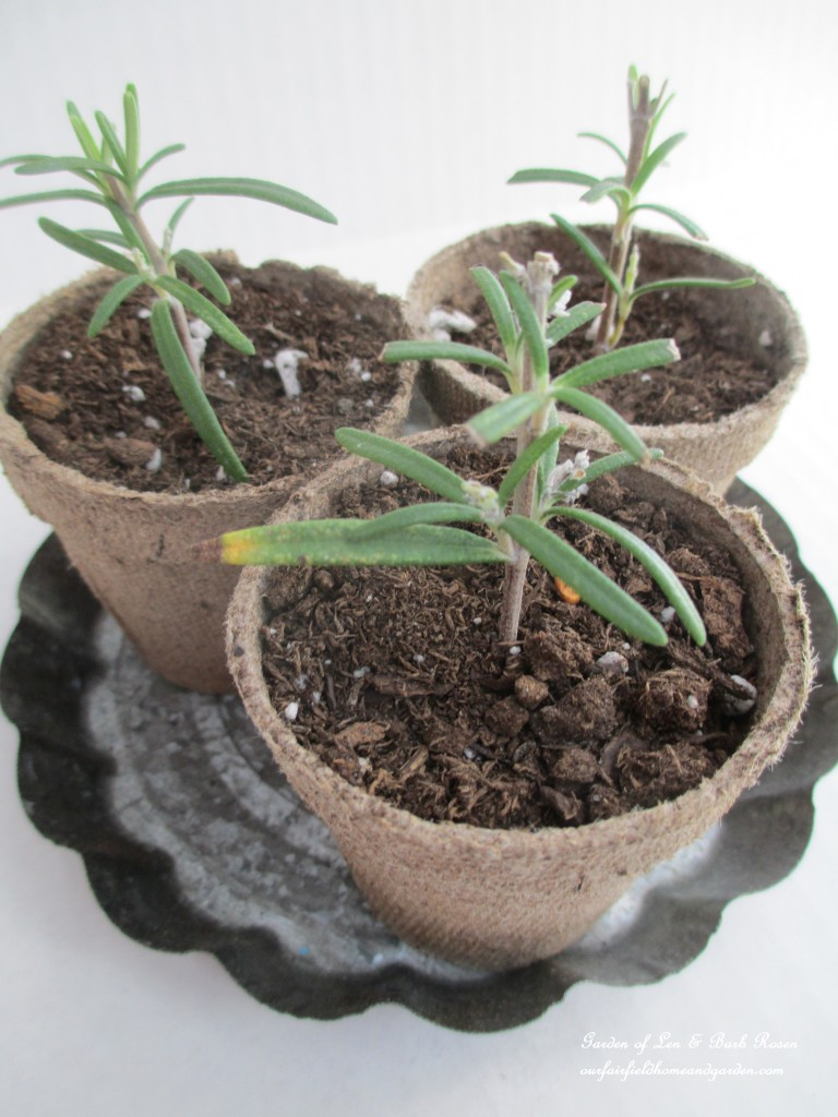 rosemary cuttings http://ourfairfieldhomeandgarden.com/an-ode-to-rosemary-my-favorite-herb/