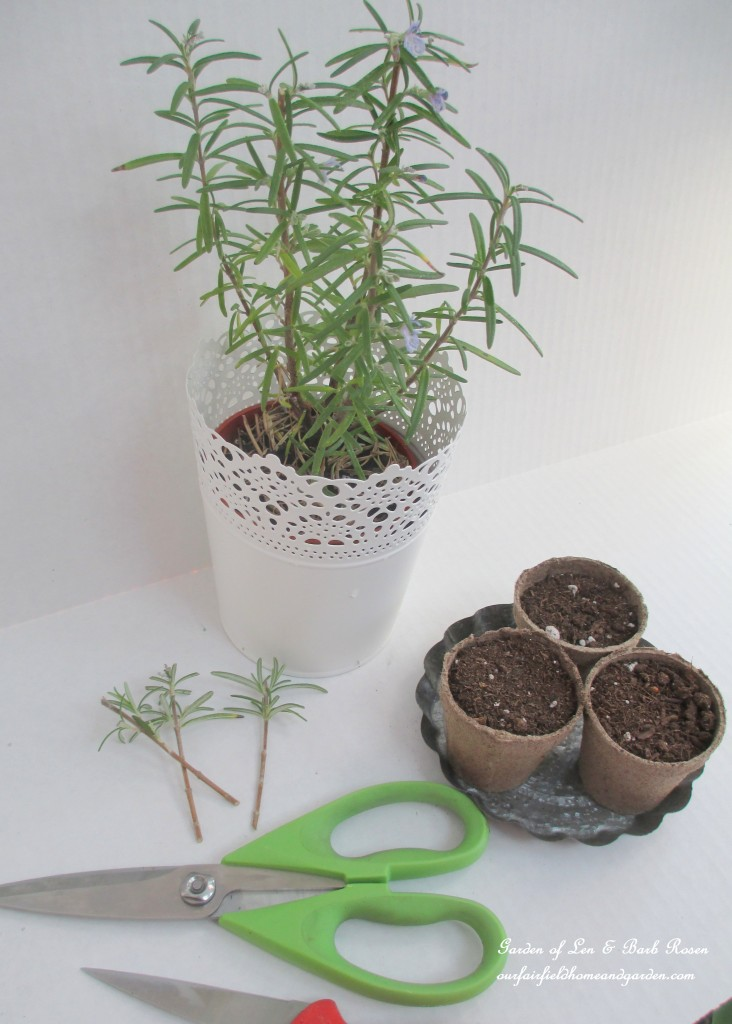 propagating rosemary http://ourfairfieldhomeandgarden.com/an-ode-to-rosemary-my-favorite-herb/