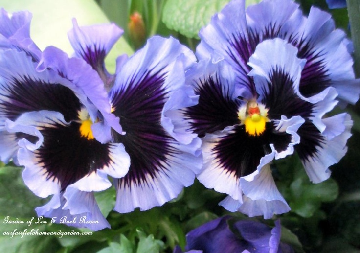 ruffled purple pansies https://ourfairfieldhomeandgarden.com/spring-fever/