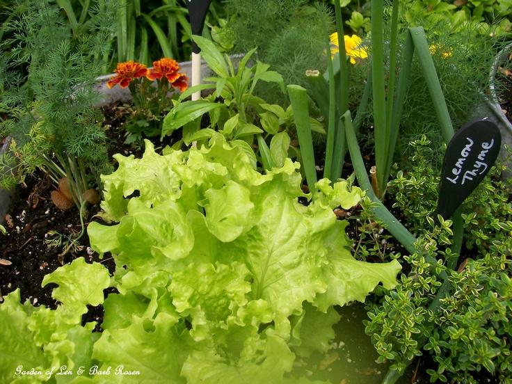 galvanized veggie garden http://ourfairfieldhomeandgarden.com/galvanized-garden-repurposed-container-planting/