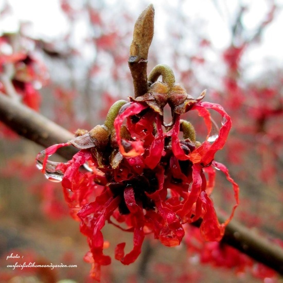 Witch Hazel http://ourfairfieldhomeandgarden.com/late-winter-bloomers/