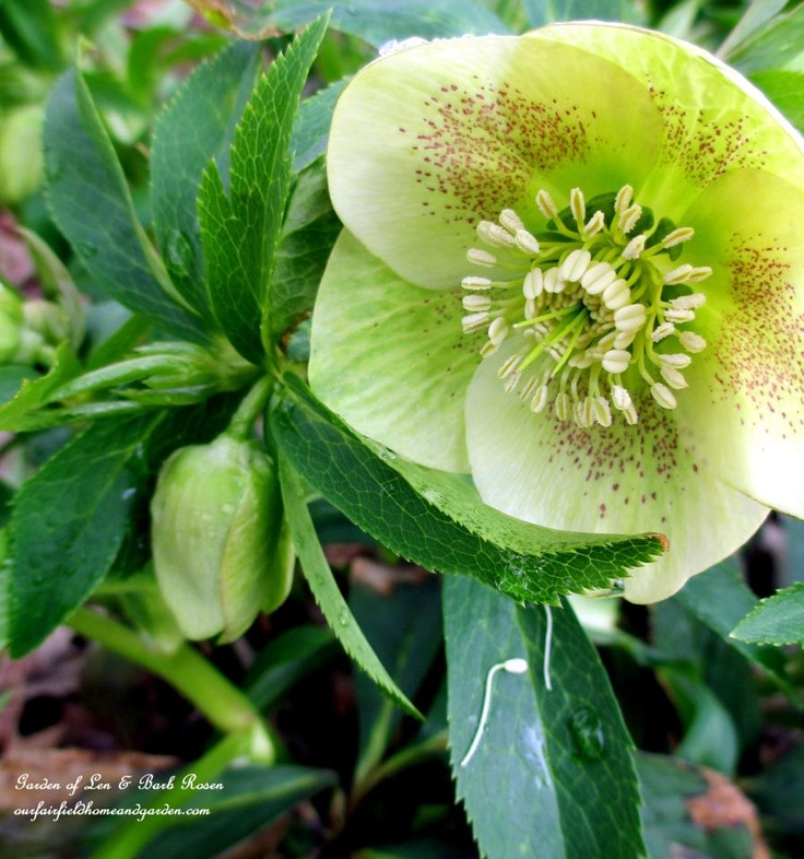 hellebore http://ourfairfieldhomeandgarden.com/late-winter-bloomers/