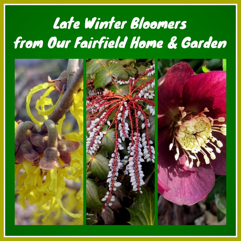 winter bloomers http://ourfairfieldhomeandgarden.com/late-winter-bloomers/