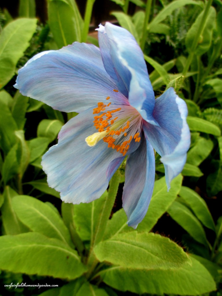 Blue Poppies https://ourfairfieldhomeandgarden.com/himalayan-blue-poppies-a-gardeners-dream/