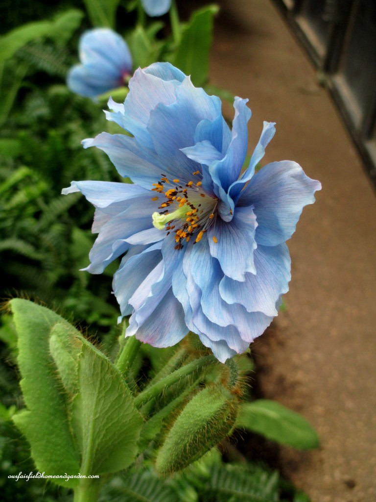 Blue Poppies http://ourfairfieldhomeandgarden.com/himalayan-blue-poppies-a-gardeners-dream/